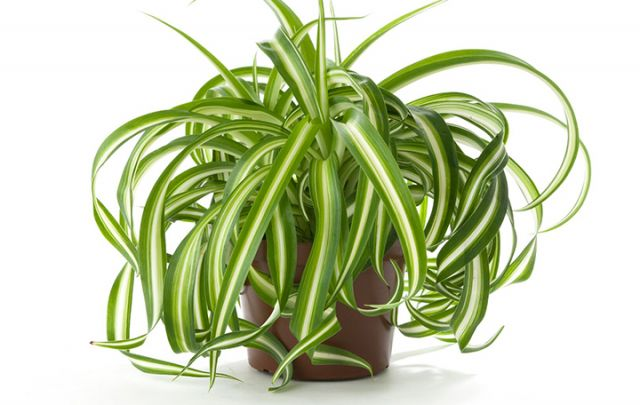 Bio Grünlilie (Chlorophytum)