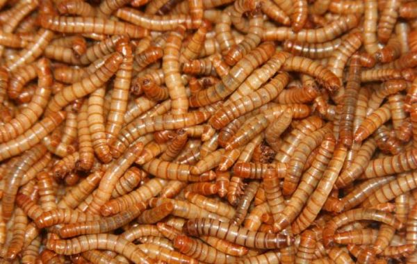 Mehlwürmer, getrocknet