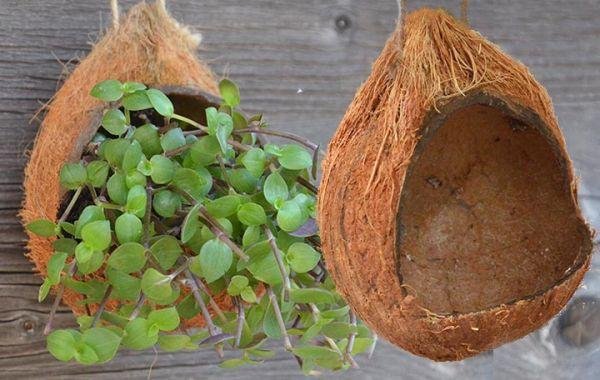 Hanger Coconut raw 10 - 15 cm